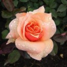Rose - Brandy™ - Hybrid Tea