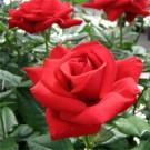 Rose - Crimson Bouquet - Grandiflora
