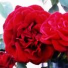 Rose - Don Juan - Climbing