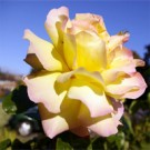 Rose - Peace - Hybrid Tea
