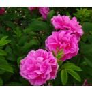 Rose - Therese Bugnet - Shrub