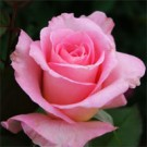 Rose - Tiffany - Hybrid Tea Rose