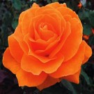 Rose - Vavoom™ - Floribunda Rose