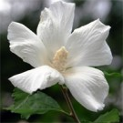 Rose of Sharon - Diana