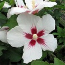 Lil' Kim Rose of Sharon