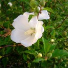 Rose of Sharon - White Chiffon