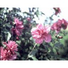 Rose of Sharon - Lucy
