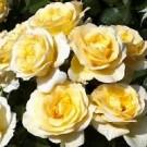 Rose - Sunshine Daydream - Grandiflora
