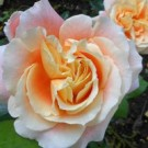 Rose - Tangerine Streams™ - Floribunda
