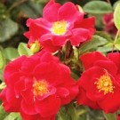 Rose - Thrive!® - Shrub