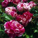 Neil Diamond™ Hybrid Tea Rose