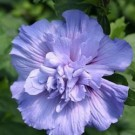 Blue Chiffon Rose of Sharon