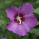 Rose of Sharon - Violet Satin®