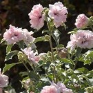 Rose of Sharon - Sugar Tip™