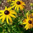 Black Eyed Susan - Little Suzy