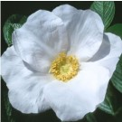 Rose - White Rugosa - Shrub