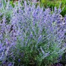 Russian Sage - Peek-a-Blue®