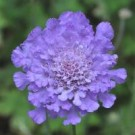 Pincushion Flower - Vivid Violet