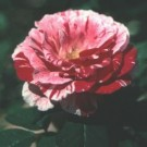 Rose - Scentimental - Floribunda Rose