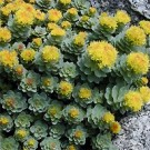Sedum - Lemon Drop