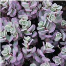 Sedum - Cauticola