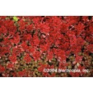 Sedum - Elizabeth Red Carpet