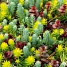 Sedum - Flaming Carpet