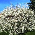 Serviceberry - Shadblow
