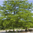 Shademaster Honeylocust Trees