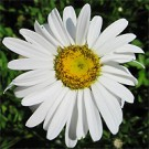 Shasta Daisy - Daisy May