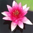Sirius Water Lily