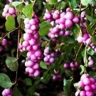 Snowberry - Sweet Sensation