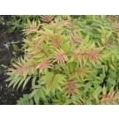 Ash Leaf Spirea - Sem