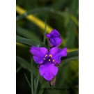 Spiderwort - Concord Grape