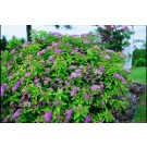 Spirea - Dakota Goldcharm®