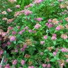 Spirea - Double Play® Artist