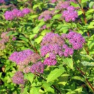 Spirea - Goldflame