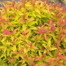Spirea - Double Play® Gold