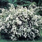 Spirea - Bridalwreath