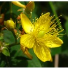 St Johnswort - Gemo