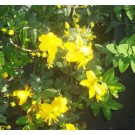 St Johnswort - Sunburst