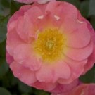 Rose - Oso Easy™ Strawberry Crush - Shrub