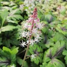 Tiarella - Sugar and Spice Foam Flower