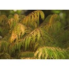 Sumac - Tiger Eyes® Cutleaf Staghorn