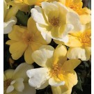 Rose - Sunny Knock Out® - Shrub