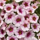 Superbells Cherry Blossom Calibrachoa