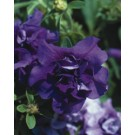 Petunia - Supertunia ® Double Dark Blue
