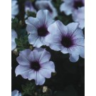Petunia - Supertunia ® Mini Blue Veined