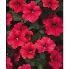 Petunia - Supertunia ® Red