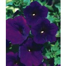 Petunia - Supertunia ® Royal Velvet